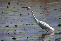 White Egret Stretches Out Its Long Neck stock photos