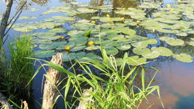Pond in nature with water lilies summer. Pond in nature with water lilies in summer stock video
