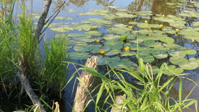 Pond in nature with water lilies summer stock video