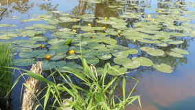 Pond in nature with water lilies summer. Pond in nature with water lilies in summer stock video footage