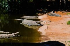 The pond. Nile crocs basking in the sun Stock Photography