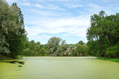 Pond overgrown with green duckweed Royalty Free Stock Photos