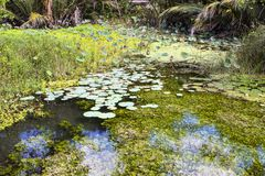 Pond overgrown with lotuses,Nusa Penida in Indonesia Stock Images