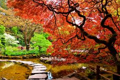 Pond with overhanging red Japanese maples during springtime. Butchart Gardens, Victoria, BC, Canada Royalty Free Stock Photo