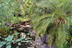 pond and palm tree Royalty Free Stock Image