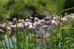Pond with pink flamingos Stock Photos