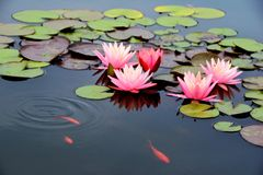 Pond with pink water lily and koi fish Stock Photos