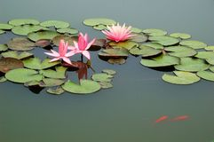 Pond with pink water lily and koi fish Royalty Free Stock Photo