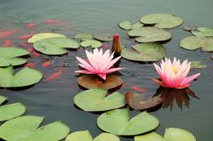 Pond with pink water lily and koi fish Royalty Free Stock Photos