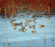 Pond of Pintails Royalty Free Stock Photo