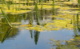 Pond Plant Life Royalty Free Stock Photography