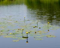 Dark Reflective Pond Covered in Aquatic Plants and Lily Pads Royalty Free Stock Images