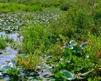 Pond covered with aquatic plants including water lilies and lily pads creating a sea of green. Stock Photos
