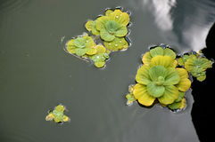 Pond plants Royalty Free Stock Photos
