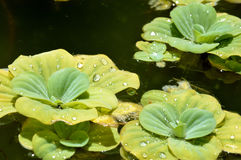 Pond plants. Floating plants in a pond Royalty Free Stock Photo