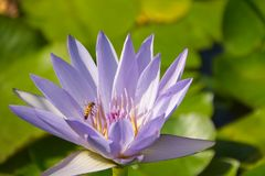 Pond with plants and flowers of water lilies with frog and bee - Isola Bella - Stresa Royalty Free Stock Photos