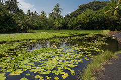 The pond of Punaluu. A view of the pond of Punaluu with the water lilies Royalty Free Stock Photo