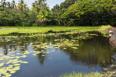 The pond of Punaluu. With water lilies in Big Island, Hawaii Stock Images