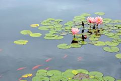 Pond with purple water lily and koi fish Stock Photos