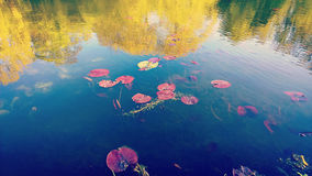 Pond with red aquating leaves floating and trees reflection Royalty Free Stock Photo