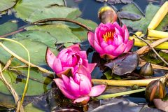 A pond with red water lily Stock Images