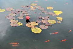 Pond with red water lily and koi fish Royalty Free Stock Images