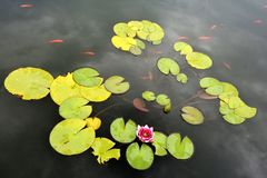 Pond with red water lily and koi fish Stock Image