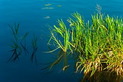 Pond reed. Short reed on the edge of small pond Stock Image