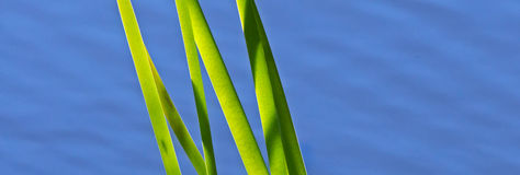 Pond Reeds Green Blue Water Stock Images