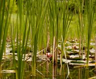 Looking through reeds in a pond. A pond with reeds and lily pads and a field behind it Royalty Free Stock Photography