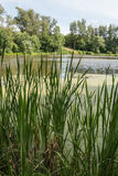 Pond, reeds and poplars. Stock Images