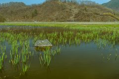 Pond in rural country setting. Landscape of pond with large boulder surrounded by young green reeds with tree covered mountain and blue sky in background Royalty Free Stock Photos