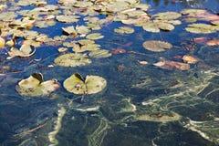 Pond Scum Royalty Free Stock Photos