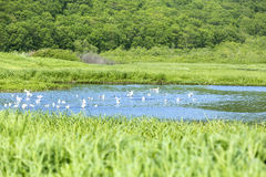 Pond with seagulls Stock Photography