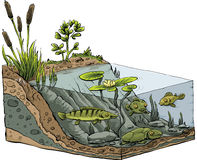 Pond Shore Cross-section. Cartoon cross-section of the shoreline of a pond Royalty Free Stock Photography