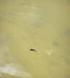 Pond skater eat fly Stock Images