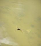 Pond skater eat fly Stock Images