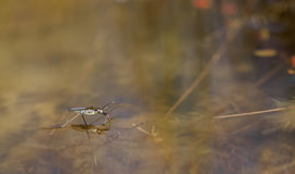 Pond skater Stock Photography