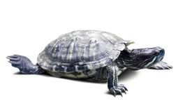 Pond slider. Isolated over white Royalty Free Stock Photo