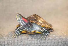 Pond slider red-eared turtle. Stock Photos