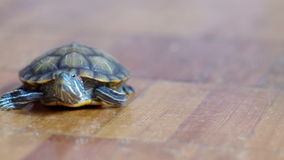 Pond slider.terrapin terrapin. Royalty Free Stock Photography