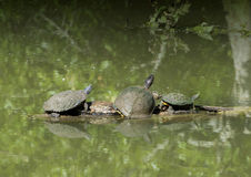 Pond Slider, Texas River Cooter and Red-eared pond slider on a log Royalty Free Stock Image