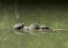 Pond Slider, Texas River Cooter and Red-eared pond slider on a log. Pictured is a Texas River Cooter climbing onto a log between a pond slider and a Red-eared Stock Photos
