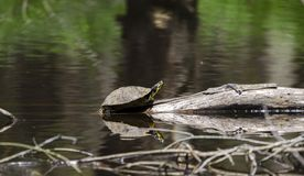 Pond Slider Turtle basking on log in pond, Georgia, USA Stock Images