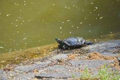 Pond slider, or Trachemys scripta Stock Photo