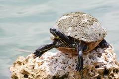 Pond Slider Turtle Stock Photo