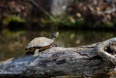 Pond slider turtle basking on log. River Cooter turtle basking on log in Lake Rutledge, Hard Labor Creek State Park, Georgia Royalty Free Stock Image