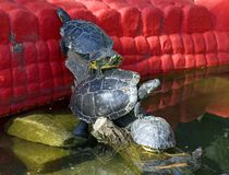 Pond slider turtle reptiles freshwater armour Royalty Free Stock Photography