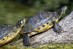Pond slider turtle sunbathing. A couple of pond slider turtles, Trachemys scripta scripta, sunbathing on a dead branch near the water. This popular turtle in the Stock Photo
