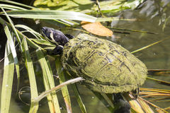 Pond slider turtle swimming between the vegetation Stock Photos